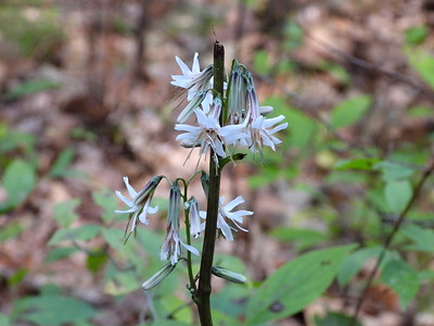 Rattlesnakeroot (Nabalus sp) - also known as White Lettuce