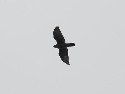 Hawk sp