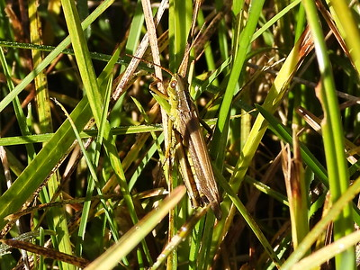 Grasshopper sp
