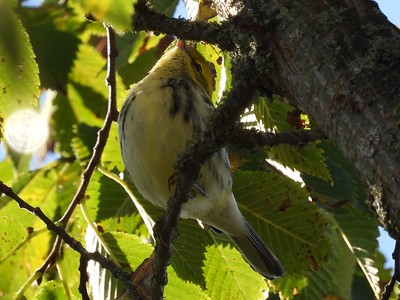 Black-throated Green Warbler - possible 1st winter female