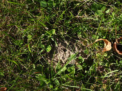 Bicolored Striped Sweat Bee (Agapostemon virescens) - mound and nest entrance