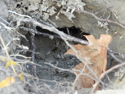 Striped Skunk - dig: entrance to cavity opened after digging by Skunk, also shows some adults of the Eastern Yellowjacket (Vespula maculifrons)