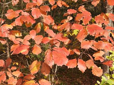 Chinkapin Oak (Quercus muehlenbergii) - also known as Chinquapin Oak