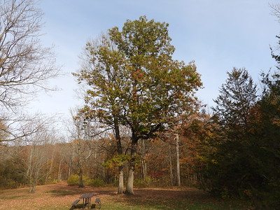 Northern Red Oak (Quercus rubra)