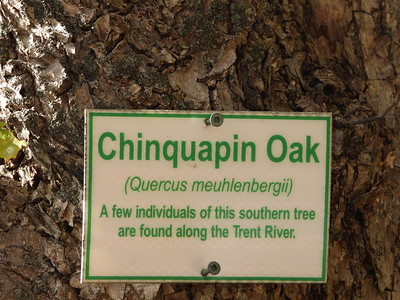 Chinkapin Oak (Quercus muehlenbergii) - also known as Chinquapin Oak