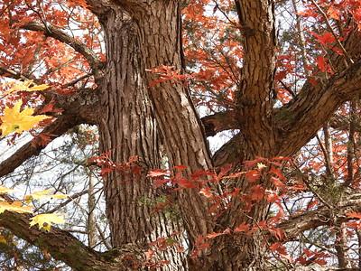 White Oak (Quercus alba)