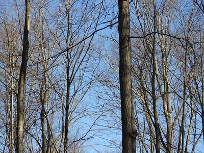 Mixed flock of Blackbirds