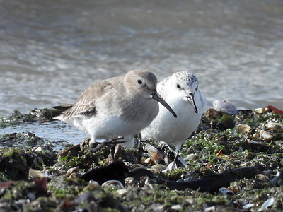 Dunlin (left) & Sanderling (right)