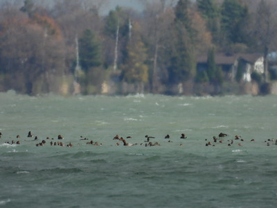 Redheads & occasional Scaup