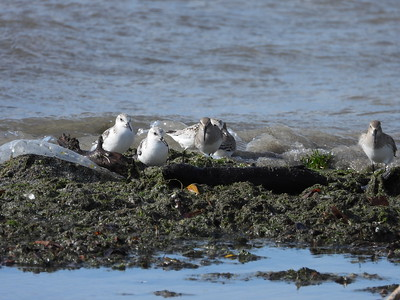 Sanderling (left) & Dunlin (right)