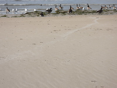 American Eel - drag marks across sandy beach likely created by Herring Gull dragging the Eel back from the shoreline
