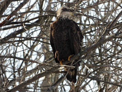 Bald Eagle - juvenile (3rd year?)