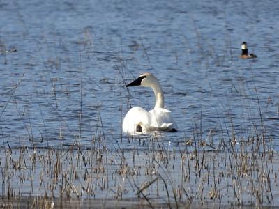 Trumpeter Swan - adult