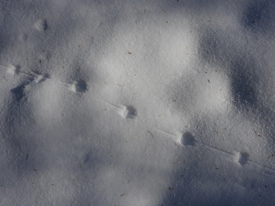 White-footed Mouse - tracks & trail