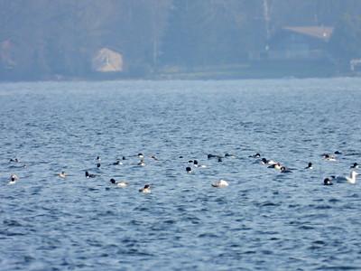 Common Mergansers and Gulls