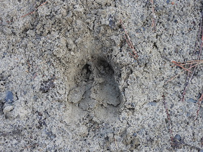 White-tailed Deer - track