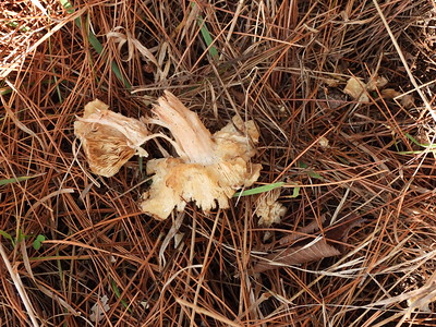 Red Squirrel - sign of mushroom feeding