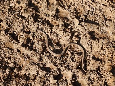 Dekay's Brownsnake (Storeria dekayi) - also known simply as Brown Snake