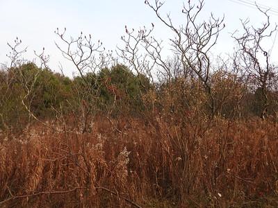 American Bittersweet nestled among Staghorn Sumac