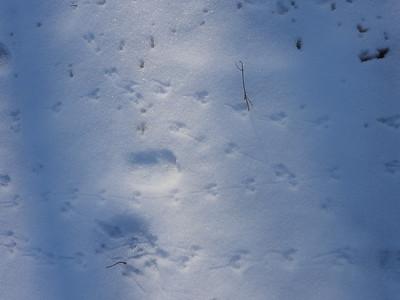 Masked Shrew - tracks & trails