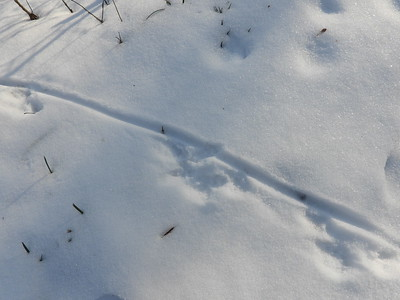 Muskrat - tracks & trail, also showing tail drag