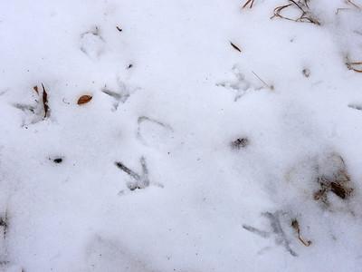 Wild Turkey - tracks, range of 4 to 5 inches long