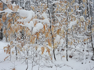 American Beech leaves covered in snow