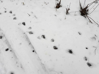 Raccoon - tracks & trail