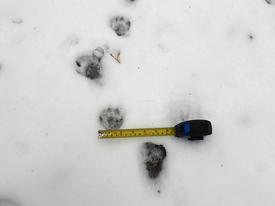 Raccoon - tracks