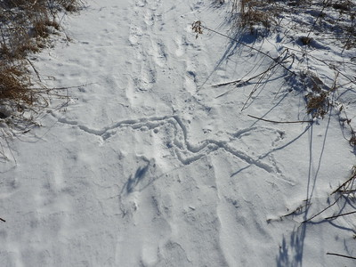 Small mammal - tracks and trail  (this mammal is likely a Shrew)