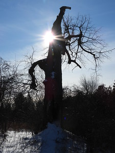 Old Basswood tree with Porcupine den