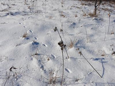 Coyote - tracks & trail
