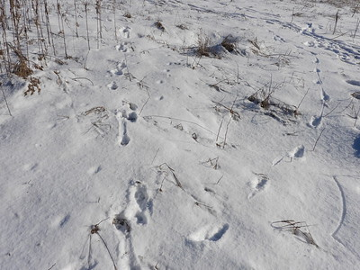 Trails - Domestic Dog on left, Coyote on right