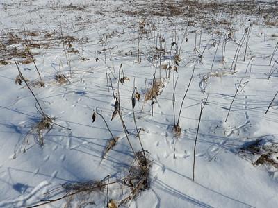 Smoky Shrew - tracks & trails