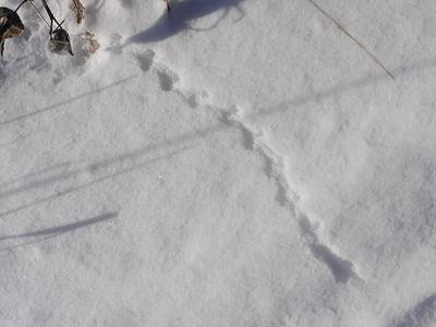 Masked Shrew - tracks & trail