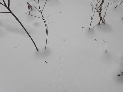 Pygmy Shrew - tracks & trail