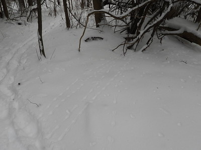 White-footed Mouse - tracks & trails