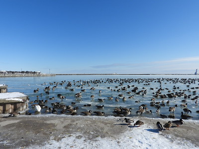 Large flock of mixed waterfowl, mostly Canada Goose & Mallard