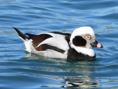 Long-tailed Duck - male