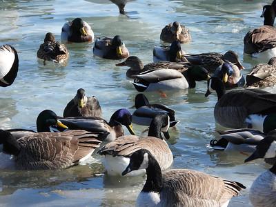 Canada Goose & Mallard