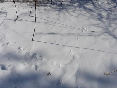 Ruffed Grouse - tracks & trail