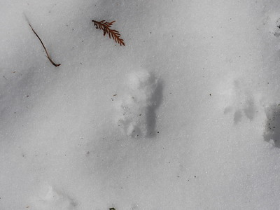 Virginia Opossum - tracks