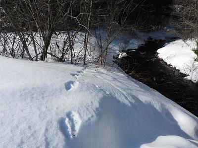 American Marten - tracks & trail