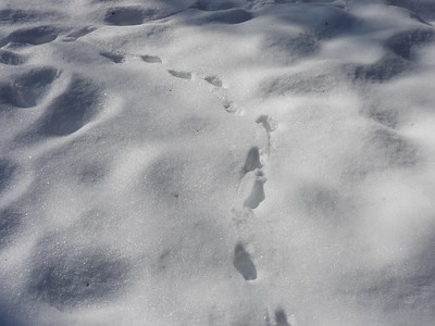 Red Fox - tracks & trail