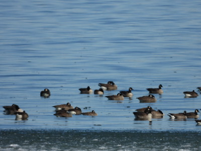 Canada Goose (& one Cackling Goose in centre along bottom row)