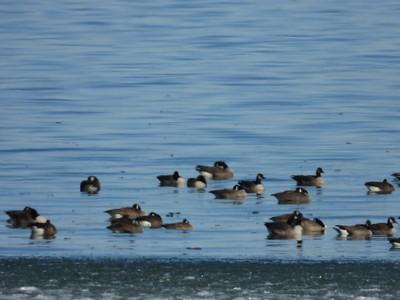Canada Goose (& one Cackling Goose in centre along bottom row)