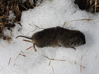 Meadow Vole - carcass
