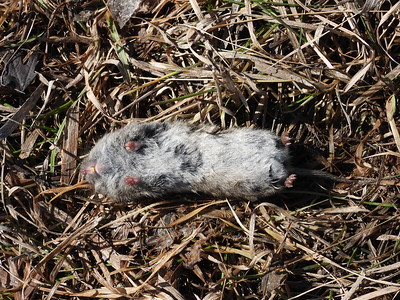 Meadow Vole - carcass