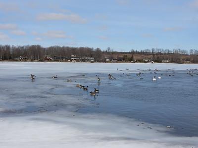 Flock of Geese & Swans