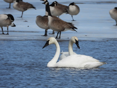 Trumpeter Swan & Canada Goose